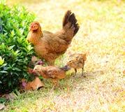 Leuke kippenfamilie Royalty-vrije Stock Fotografie