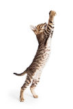 Leuke Kitten Standing Reaching Paws Up royalty-vrije stock foto's