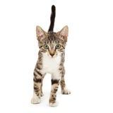Leuke Kitten Walking stock afbeeldingen