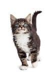 Leuke Kitten Walking Forward op Wit stock afbeelding