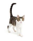 Leuke Kitten Walking Forward op Wit royalty-vrije stock fotografie