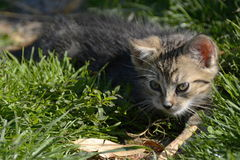 Leuke Kitty Lurking op het Gazon, Tsjechische Republiek, Europa Stock Fotografie