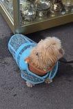 Leuke kleine hond die de stijl binnenslijtage van de schildpadhals met lichtblauw jasje dragen Stock Foto