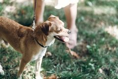 Leuke kleine hond op een gang in een park, bruine het glimlachen hond ademhaling stock afbeelding