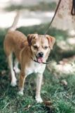Leuke kleine hond op een gang in een park, bruine het glimlachen hond ademhaling stock foto