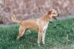 Leuke kleine hond op een gang in een park, bruine het glimlachen hond ademhaling royalty-vrije stock fotografie