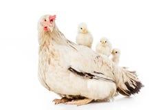 leuke kleine kippen die op kip zitten Stock Afbeelding