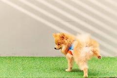 Leuke kleine Pomeranian-hond die in het park plassen stock fotografie