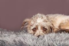 Leuke Kleine Terrier Gemengde Rassenhond die op Bont leggen Stock Afbeelding