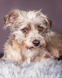 Leuke Kleine Terrier-Kruising op Grijs Stock Afbeeldingen