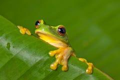 Leuke kleurrijke kikker die over een blad gluurt Royalty-vrije Stock Foto's