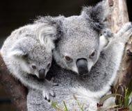 Leuke koala Royalty-vrije Stock Foto's