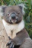 Leuke koala stock afbeeldingen