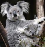 Leuke koala Royalty-vrije Stock Fotografie