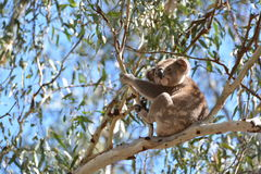 Leuke koala royalty-vrije stock foto