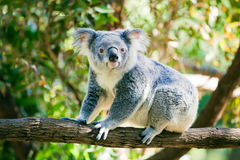 Leuke koala in zijn natuurlijke habitat van gumtrees Royalty-vrije Stock Foto's