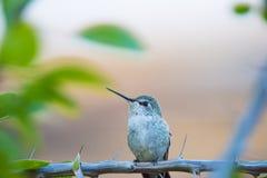 Leuke Kolibrie op Tak Royalty-vrije Stock Fotografie