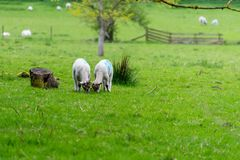 Leuke lammeren die gras naast boomstomp eten in de lente Stock Fotografie