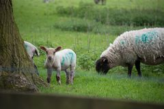 Leuke lammeren die gras naast boomstomp eten in de lente Stock Afbeeldingen