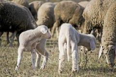 Leuke lammeren met schapen 1 Royalty-vrije Stock Foto's