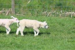 Leuke lammerenspelen op het gras bij weiden in de lenteseizoen in Nederland stock afbeelding