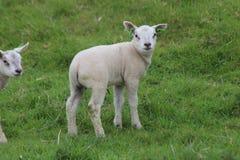 Leuke lammerenspelen op het gras bij weiden in de lenteseizoen in Nederland royalty-vrije stock fotografie