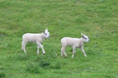 Leuke lammerenspelen op het gras bij weiden in de lenteseizoen in Nederland royalty-vrije stock foto's