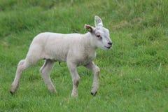 Leuke lammerenspelen op het gras bij weiden in de lenteseizoen in Nederland stock afbeeldingen