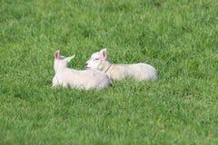 Leuke lammerenspelen op het gras bij weiden in de lenteseizoen in Nederland royalty-vrije stock afbeelding