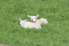 Leuke lammerenspelen op het gras bij weiden in de lenteseizoen in Nederland royalty-vrije stock afbeeldingen