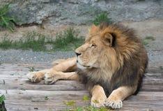 Leuke leeuw die op logboeken liggen Stock Afbeelding