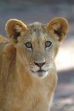 Leuke leeuwwelp Stock Foto