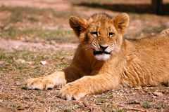 Leuke leeuwwelp Royalty-vrije Stock Afbeeldingen