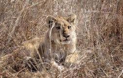 Leuke leeuwwelp royalty-vrije stock foto's