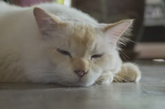 Leuke luie kat op de vloer royalty-vrije stock afbeelding