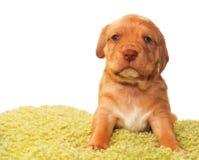 Leuke maand oud puppy Royalty-vrije Stock Foto's