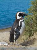 Leuke Magellanic-Pinguïn Status die zich dichtbij Bush bevinden Blauwe Wateroverzees op de Achtergrond stock foto