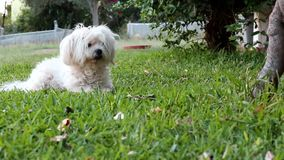 Leuke Maltese Hond die op groen gras bij de tuin rusten stock videobeelden
