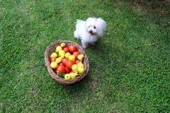 Leuke Maltese hondzitting naast een mandhoogtepunt van verse vruchten en groenten in de tuin stock foto's