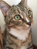 Leuke Mannelijke Tabby Cat Royalty-vrije Stock Foto's
