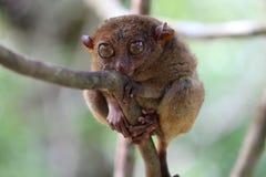 Leuke meer tarsier Royalty-vrije Stock Afbeeldingen