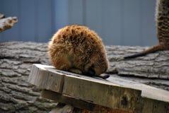 Leuke meerkat krulde omhoog in een balslaap stock afbeelding