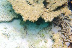 Leuke mening van weinig vis die onder koraal verbergen snorkeling Onderwaterwereld van Indische Oceaan stock fotografie