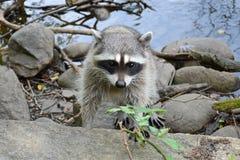 Leuke nieuwsgierige volwassen pluizige wasbeer op de kust van de vijver stock fotografie