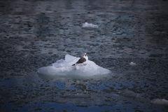 Leuke noordpoolvogel die op een kleine ijsberg rusten svalbard Royalty-vrije Stock Foto's