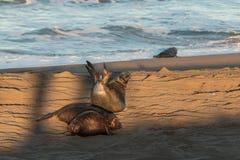 Leuke Olifantsverbindingen die op het Strand rusten royalty-vrije stock foto