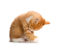 Leuke Oranje Kitten Bathing op Witte Achtergrond royalty-vrije stock foto