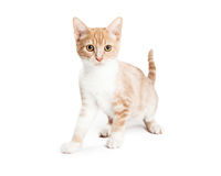 Leuke Oranje Tabby Kitten Stock Afbeelding