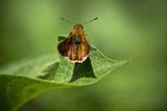 Leuke oranje vlinder op blad op groene achtergrond Royalty-vrije Stock Afbeeldingen
