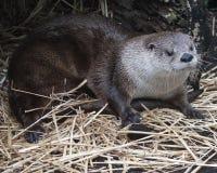 Leuke otter in het natuurlijke plaatsen die op grond leggen Royalty-vrije Stock Foto